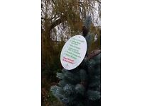 "Christmas Tree - Beautiful natural looking ""Blue Fir"", 225 cm 7 foot 6 inch"