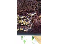 Female Royal Python Full Set Up