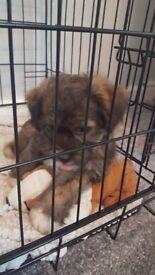 Shitsu puppy