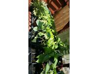 Vegetable plants 3 for £1