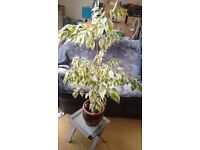 LARGE Green/White leaved house plant