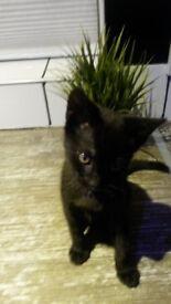 Smoky black kitten one left