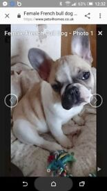 Male and female french bulldogs for sale female is 2 in september male was 1 in febuary both kc reg