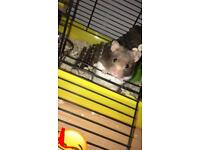 Syrian hamster (male)