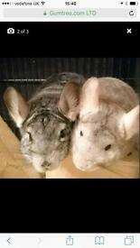 Two lovely male chinchilla