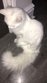 FLUFFY FULL WHITE RAGDOLL CAT FOR SALE