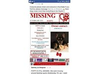 REWARD PLEASE READ FULL ADVERT LOST CHIHUAHUA GIRL