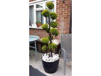 Topiary cloud Goldcrest tree. Garden plants flowers shruds ornaments furniture table chairs hot tub