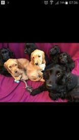 Puppies Cocker Spaniel Dogs