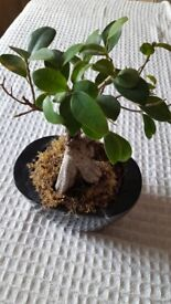 Ficus Gensing Bonsai Tree Approx 23cm Tall - Good Health and in a Black Ceramic Pot