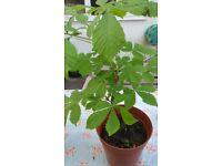 Tree Saplings For Sale