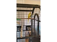 2 Indian Ringneck parakeets + Large cage + extra travel cage