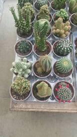Cactus plants in metal pots