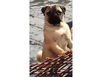 beautiful female pug for sale