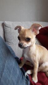 Chihuahua Male Help East Calder