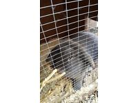 Female lop rabbit
