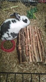 Gorgeous loving rabbit for sale £30 with indoor hutch