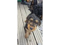 CHAMPION AIREDALE TERRIER PUPPIES FOR SALE £1100