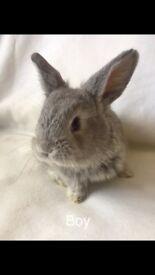 Beautiful baby lop rabbits