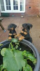 Doberman puppies kc registered