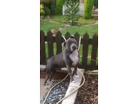 blue staffordshire bull terrier male