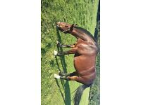 14.3hh Beautiful Bay cob mare