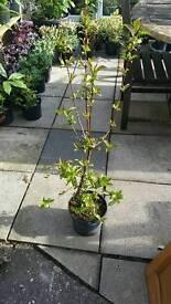 Vibernum garden plant
