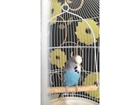 2 budgies and vintage cage
