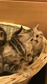 Full pedigree British shorthair kittens