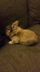 Half netherland dwarf, 1/4 chinchilla 1/4 lionhead baby rabbit