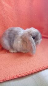 Beautiful mini lop ready to reserve now