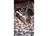 5 gorgeous Bengal x kittens