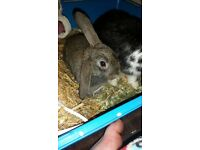 Baby rabbit 8 week's old