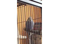 Lost - Blue and white budgie/parakeet