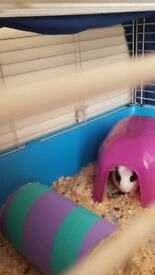 2 male Guinea pigs. Very friendly, come with cage , food , hay and straw