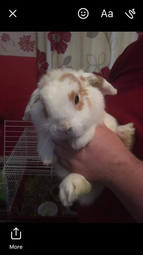 Lopped eared rabbit female