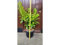 laurel plants bargain prices