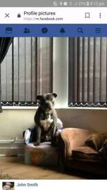 Rehome staffy