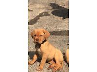 6 stunning Dogue de Bordeaux puppies for sale