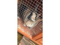 2 young female rabbits (neutered) and hutch