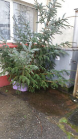 real christmas trees 7ft 8ft 9 ft