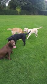 Two loveley Labrador pups for sale one golden and other black 6 months old
