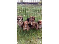 Cocker dash puppies