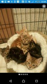 Marble bengal kittens