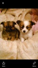 Pomeranian cross chihuahua babies
