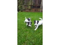 Jack Russell puppie girl for sale
