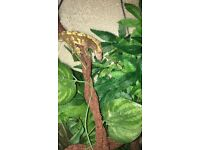 Juvenile crested geckos