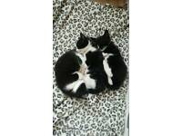 Black and white kittens