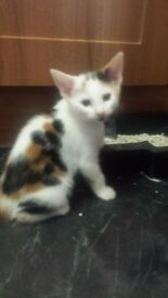 10wk old beautyfull kitten £40