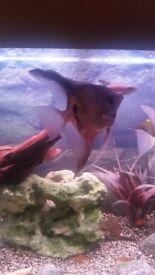 Large anglefish